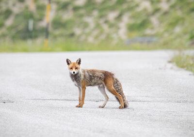 Fuchs ausweichen nicht grob fahrlässig